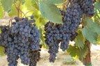 Laura's grapes