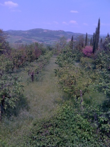 My favorite part of Tuscany - the olive trees and grape vines