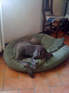After 11 years as a staunch couch supporter, Cinder now prefers her dog bed!  Tuscany must be magical...