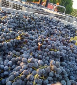 Ciliegiolo - l'uva di Maremma