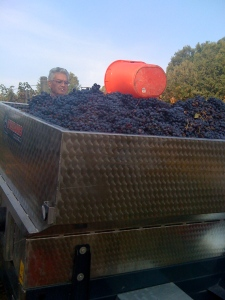 Our first load of grapes