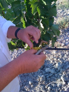 checking the sugar content of the grapes