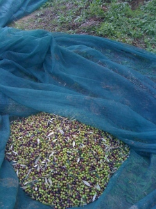 The trees are laden this year... four trees yielded over 100 kios of olives!