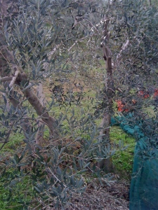 Olive harvesting at Pietramonti